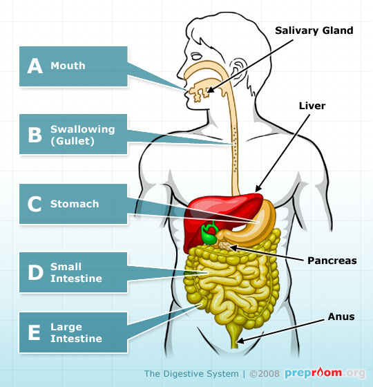 Fig 1: The Digestive System
