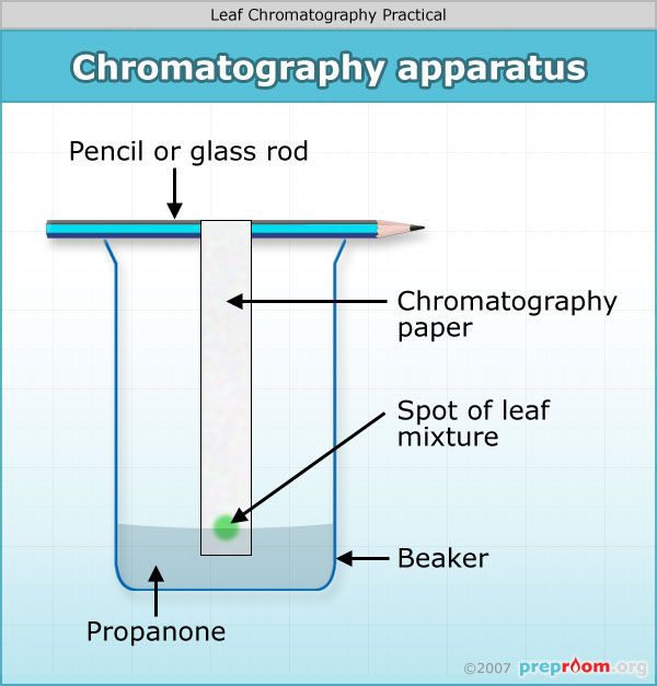Chromatography Of Leaves